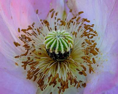 Photograph - Pink Poppy by TK Goforth