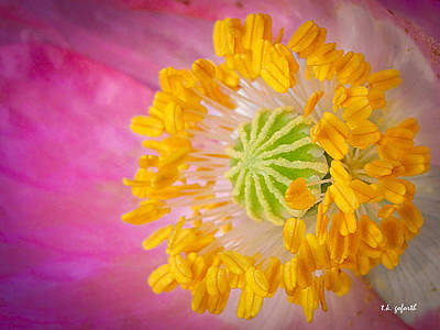 Photograph - Pink Poppy Too by TK Goforth