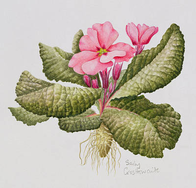 Pink Primrose Art Print by Sally Crosthwaite