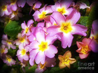 Photograph - Pink Primroses by Nina Ficur Feenan