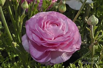 Photograph - Pink Ranunculus by Bridgette Gomes