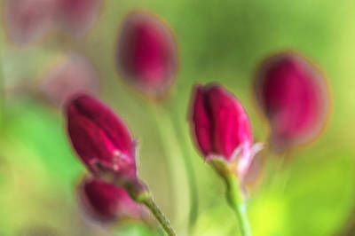Photograph - Pink Red Buds by Arkady Kunysz