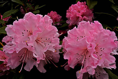 Photograph - Pink Rhododendron by Brian Chase