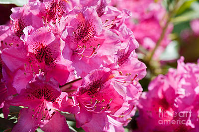 Rhododendron Called Azalea Bright Pink Flowers  Art Print by Arletta Cwalina