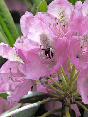 Photograph - Pink Rhododendron by Michael Creamer