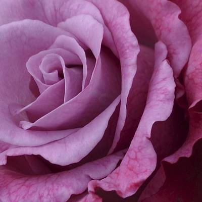 Photograph - Pink Rose . 1.2 by Cheryl Miller