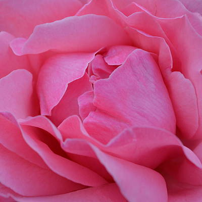 Photograph - Pink Rose  1.3 by Cheryl Miller