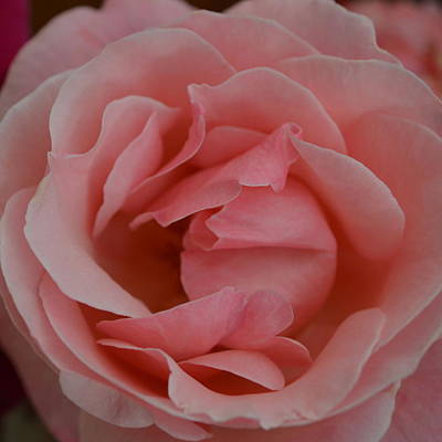 Photograph - Pink Rose .  1.4 by Cheryl Miller