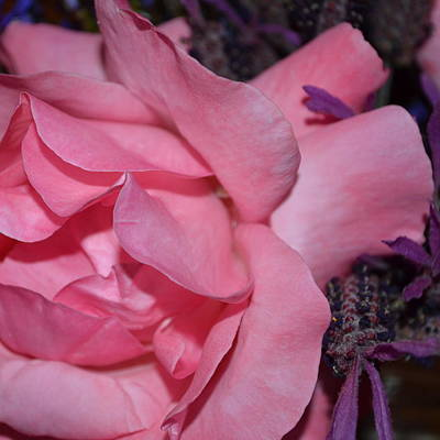 Photograph - Pink Rose And Lavender  by Cheryl Miller