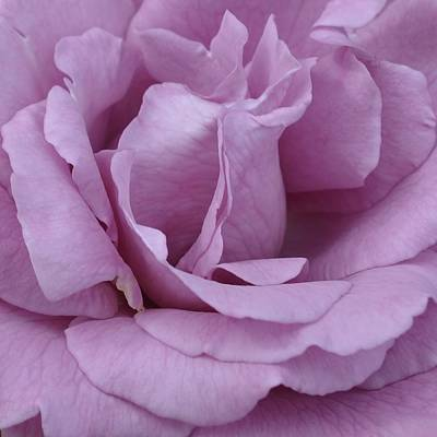 Photograph - Pink Rose 1.1 by Cheryl Miller