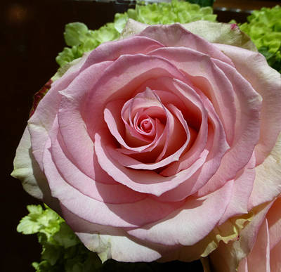 Wedding Photograph - Pink Rose 1 by Claudia Goodell