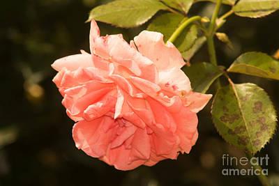 Wv Photograph - Pink Rose 2 by Howard Tenke