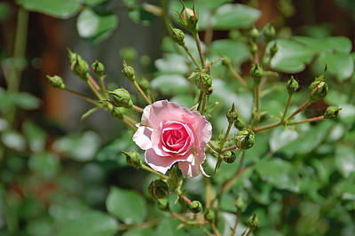 Photograph - Pink Rose by Aimee L Maher Photography and Art Visit ALMGallerydotcom
