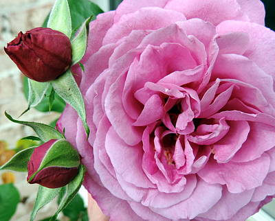 Pink Rose And Buds Art Print by Cathy Jourdan