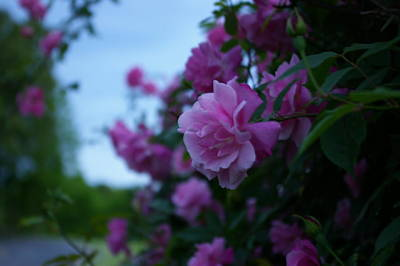 Photograph - Pink Rose At Dawn by Elizabeth King