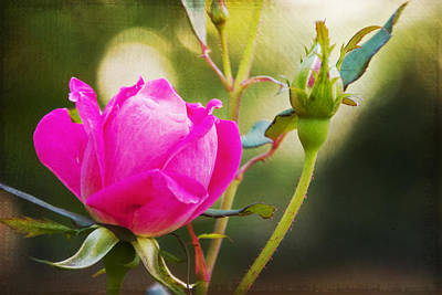 Photograph - Pink Rose Bud by Walter Herrit