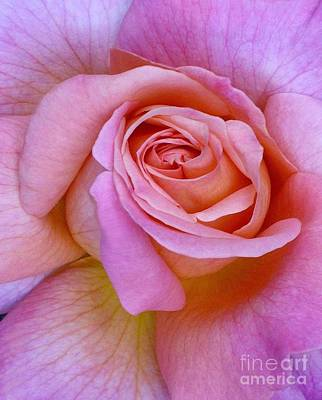 Photograph - Pink Rose Close-up by Paul Clinkunbroomer