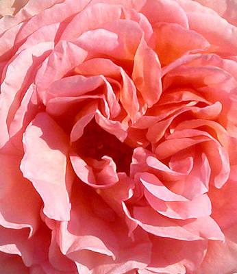 Photograph - Pink Rose Closeup by Anne Cameron Cutri