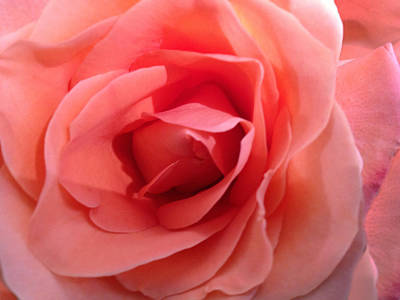 Photograph - Pink Rose  by Dale  Gurvis