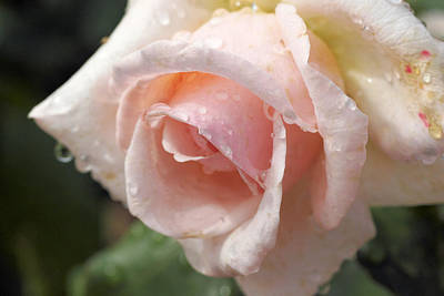 Photograph - Pink Rose by David Rich