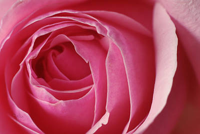 Photograph - Pink Rose Dof by Arthur Fix