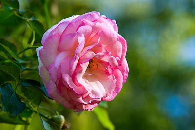 Single Rose Stem Photograph - Pink Rose - Featured 3 by Alexander Senin