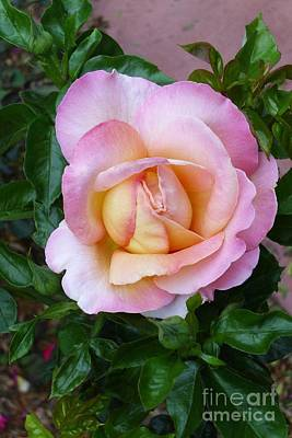 Photograph - Pink Rose Flowering by Paul Clinkunbroomer