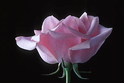Photograph - Pink Rose I by Michael Moschogianis