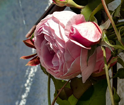 Photograph - Pink Rose In Half Profile.2014 by Leif Sohlman