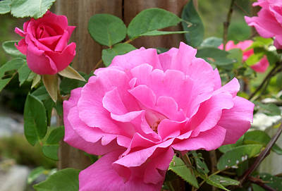 Photograph - Pink Rose In The Garden 2 by Duane McCullough