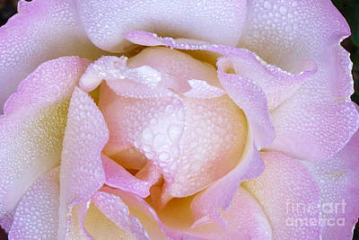 Photograph - Pink Rose In The Morning by Paul Clinkunbroomer