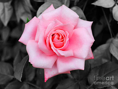 Photograph - Pink Rose by Jai Johnson