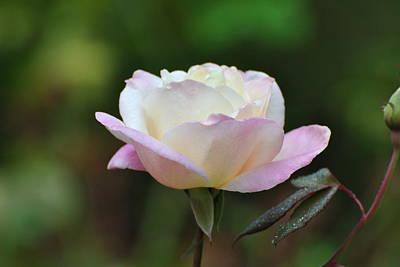 Art Print featuring the photograph Pink Rose by Jodi Terracina