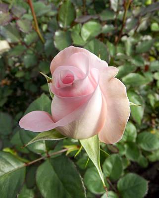 Photograph - Pink Rose by Kurt Van Wagner