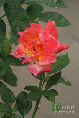 Photograph - Pink Rose by Mark McReynolds