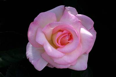 Pink Rose On Black Art Print