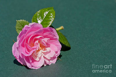 Photograph - Pink Rose On Green by Terri Waters