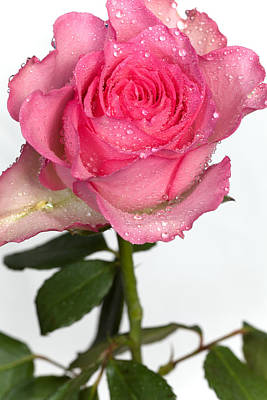 Photograph - Pink Rose  by Paul Lilley