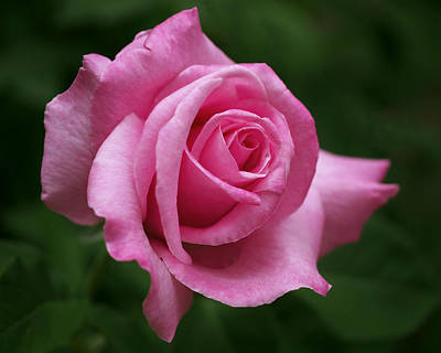 Photograph - Pink Rose Perfection by Rona Black