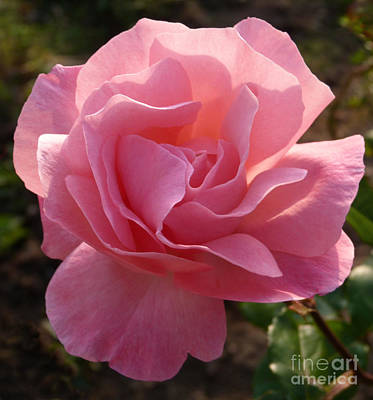 Photograph - Pink Rose by Phil Banks