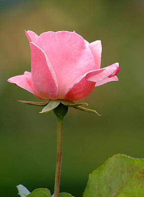 Photograph - Pink Rose by Rob Huntley