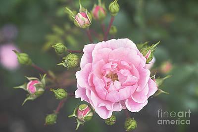 Pink Rose The Queen Art Print