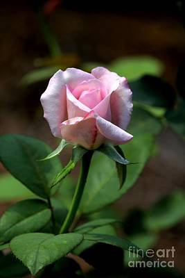 Photograph - Pink Rose by Theresa Willingham