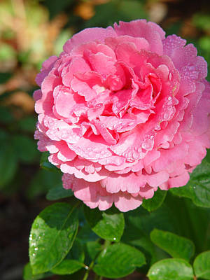 Photograph - Pink Rose with Raindrops by Nancy-Fay Hecker