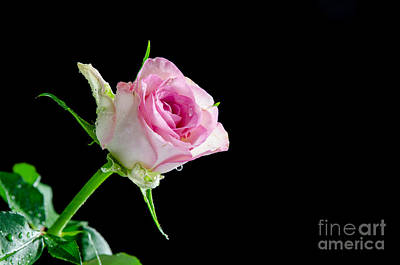 Photograph - Pink Rose With Water Drops At Black Background by Kennerth and Birgitta Kullman