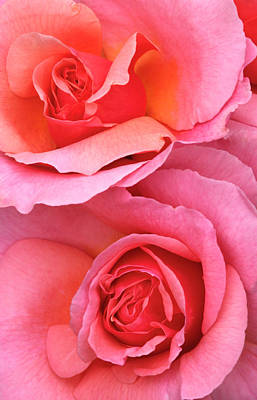 Pink Roses Abstract Art Print