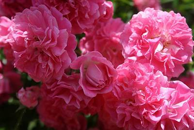 Photograph - Pink Roses In Sunlight by Tracey Harrington-Simpson