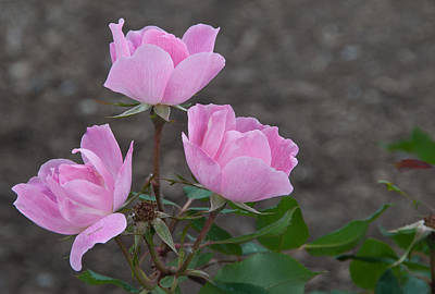 Photograph - Pink Roses by Paul Miller