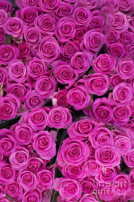 Of Flowers Photograph - Pink Roses by Tim Gainey