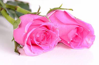 Pink Roses  Original